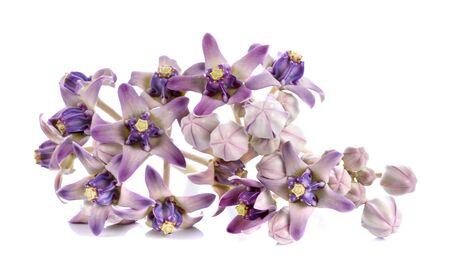 gigantea: purple calotropis on white back ground