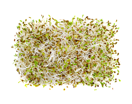 Sprouted alfalfa seeds  isolated on a white background Stock Photo