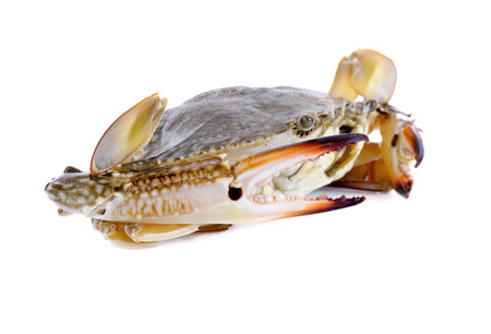 serra ted mud crab isolated on white background