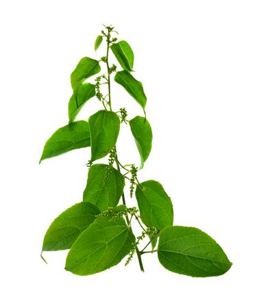 sacha inchi leaves isolated on white background