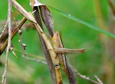 grasshopper on the grass leaf in moring light Banque d'images