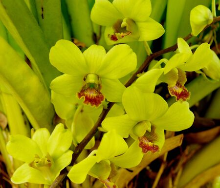 yellow  orchid blossom isolated in the gagden