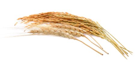 Barley ear and rice grain  isolated on white background