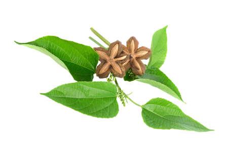 Sacha-Inchi peanut with leaves isolated on white background