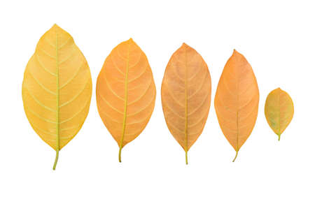 Yellow leaves on a white background Stock fotó