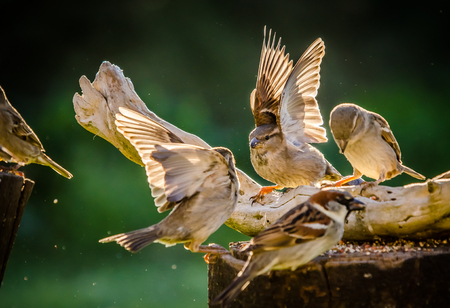 sparrows fighting over food Stock Photo