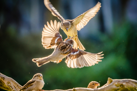pair of sparrows fighting