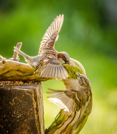 sparrows fighting 版權商用圖片