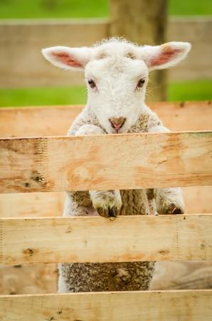 lamb in pen 版權商用圖片