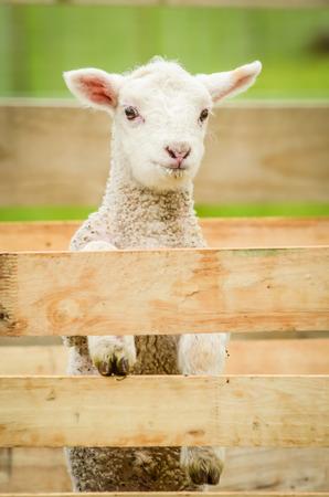 lamb climbing on fence