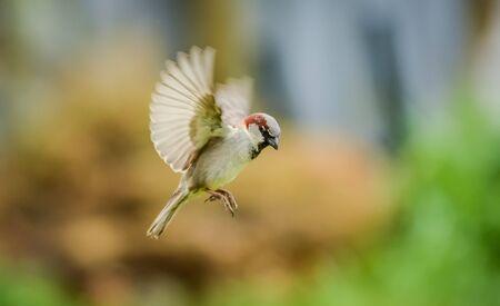 sparrow flying 版權商用圖片