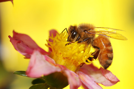 honey bee collecting nectar