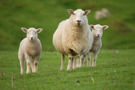sheep and lambs 版權商用圖片