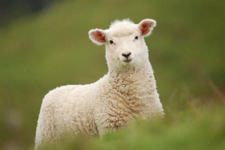 子羊 写真素材