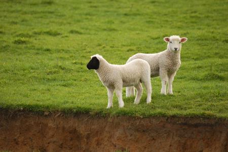 black faced lamb 版權商用圖片
