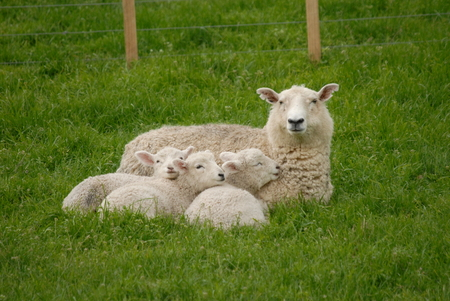 mother sheep with her lambs 版權商用圖片
