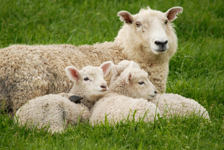 mother sheep and her lambs 版權商用圖片