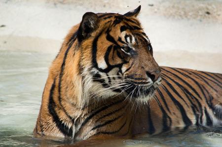 tigress: Tiger Cooling Off Stock Photo