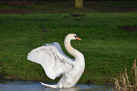 Swan spreading wings photo