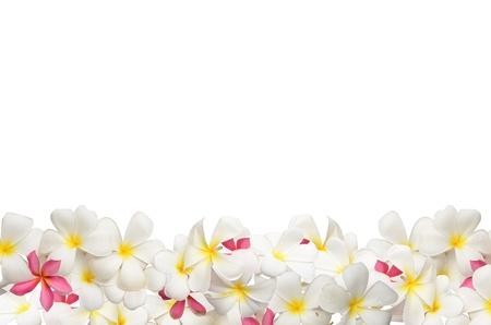 Frangipani flower Boder Archivio Fotografico