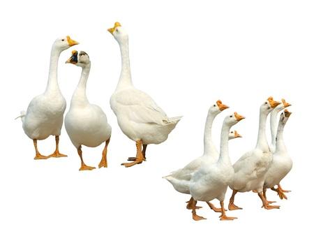 White Geese Isolated 版權商用圖片