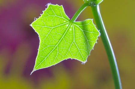 flower structure: IVY LEAF ON Colorful Background