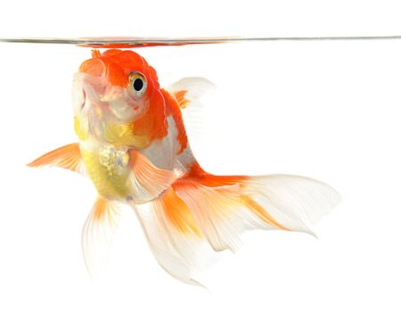 Gold fish. Isolation on the white Stock Photo - 10528680