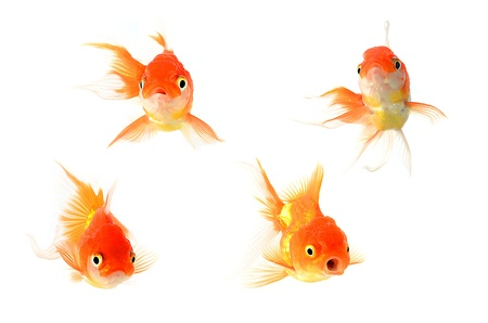 peces de colores: Peces de oro. Aislamiento en el blanco Foto de archivo