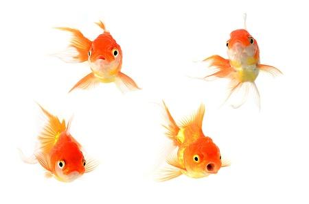 peixe dourado: Peixes do ouro. Isolamento no branco