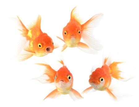 Gold fish. Isolation on the white Stock Photo - 10570424