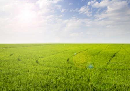 Rice field green grass blue sky cloud cloudy landscape background Stock Photo - 12605031
