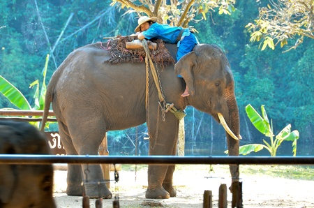 LAMPANG, THAILAND - NOV. 30: The mahout and elephant wait for next show. It shows up twice a day in The Thai Elephant Conservation Center (TECC) at Lampang. November 30, 2011 in Lampang, Thailand. Stock Photo - 12445075