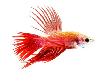 siamese fighting fish isolated on white background Stock Photo - 13076997