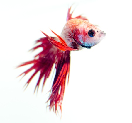 siamese fighting fish isolated on white background Stock Photo - 13076992