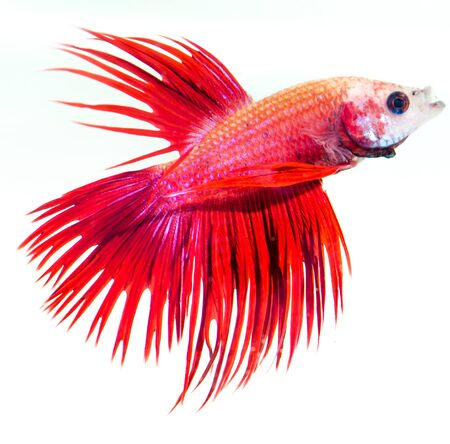 siamese fighting fish isolated on white background Stock Photo - 13076994