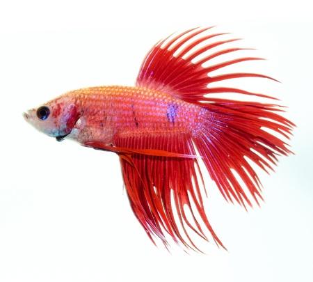 siamese fighting fish isolated on white background photo
