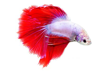 fire fin fighting: siamese fighting fish isolated on white background
