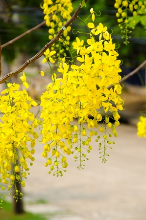 fistula: Cassia fistula  National flower of Thailand   Golden Shower Tree