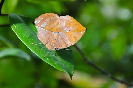 Leaf Butterfly, Special butterfly Kallima inachis formosana