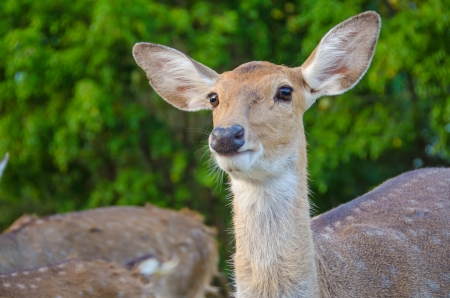 Female Spotted deer in thailand Zoo photo