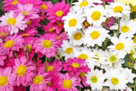 bakground with pink and white chrysanthemums flowers photo