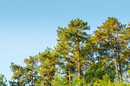 pine forest under blue sky  Stock Photo - 14726345