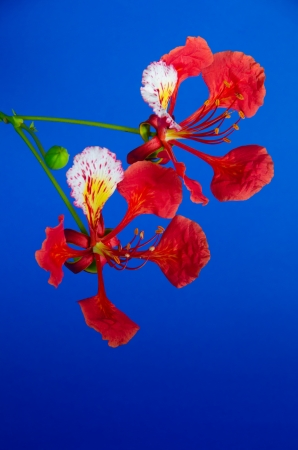 Red flower blooming on blue background photo
