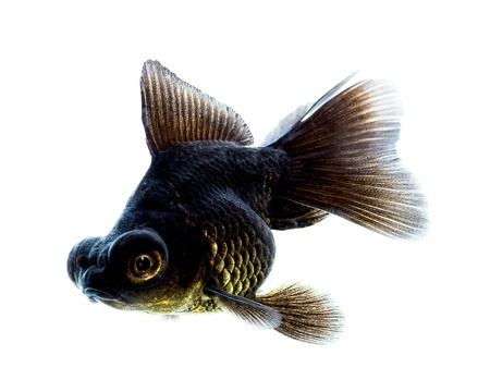 Black Goldfish isolated on white background Stock Photo - 16561181