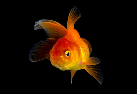 poisson rouge isol� sur fond noir photo