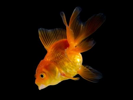 goldfish isolated on black background Stock Photo - 16561179