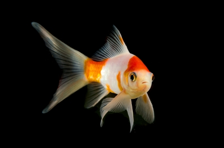 carp fish on black background