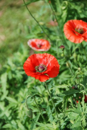 Red poppy flowers photo