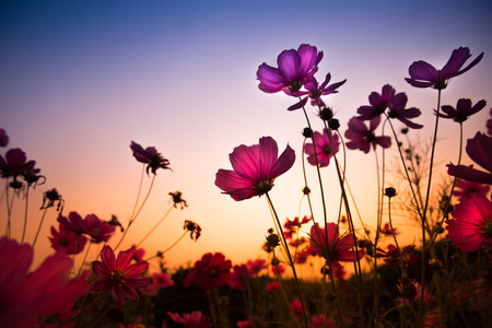 fields of flowers: The cosmos flower, beautiful cosmos flowers with color filters  Stock Photo