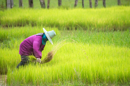 agriculturalist: Farmers transplant rice in a field in Thailand Stock Photo